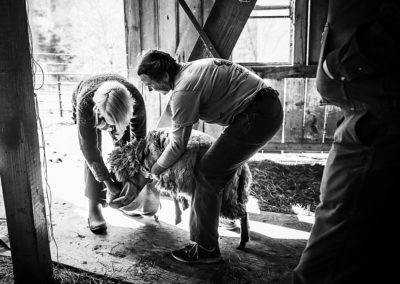 Two women remove the jacket protecting a sheep's fleece before the sheep is sheared