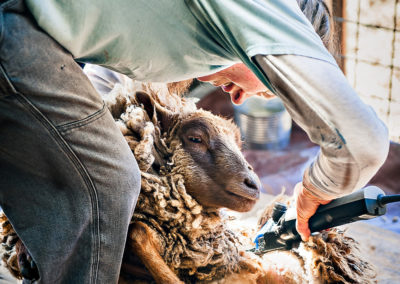 a woman bent over shearing a sheep with clippers
