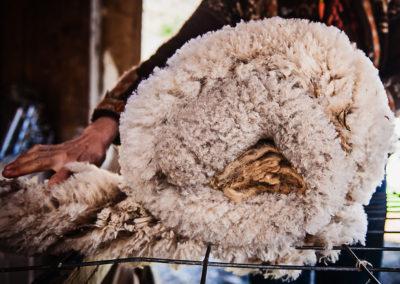 A freshly shorn fleece rolled up