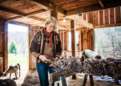 Woman in barn inspects freshly shorn fleece with sheep in background