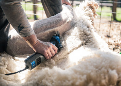 Woman shearing a sheep with electric clippers
